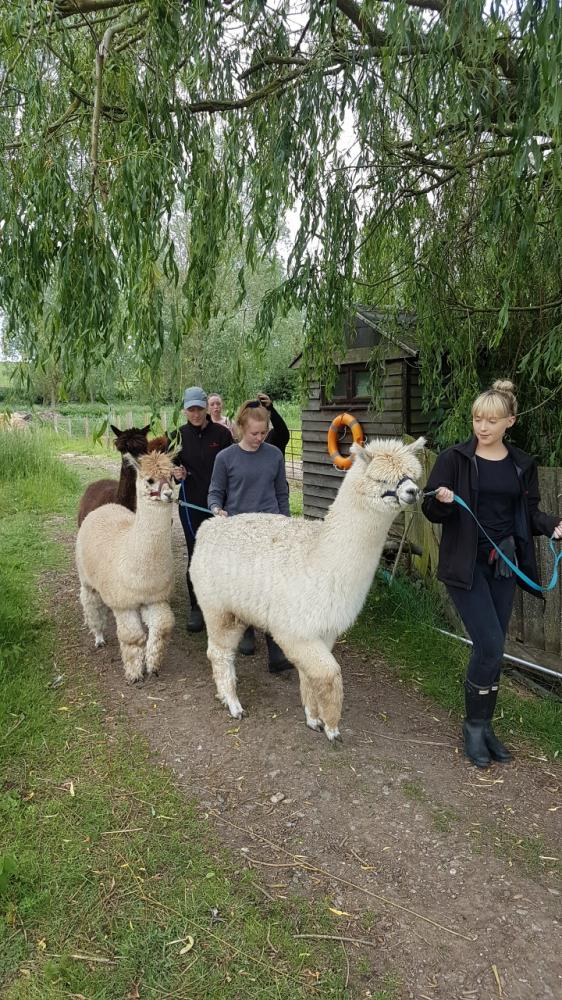 Alpaca Walking Experience including meeting the Pygmy Goats